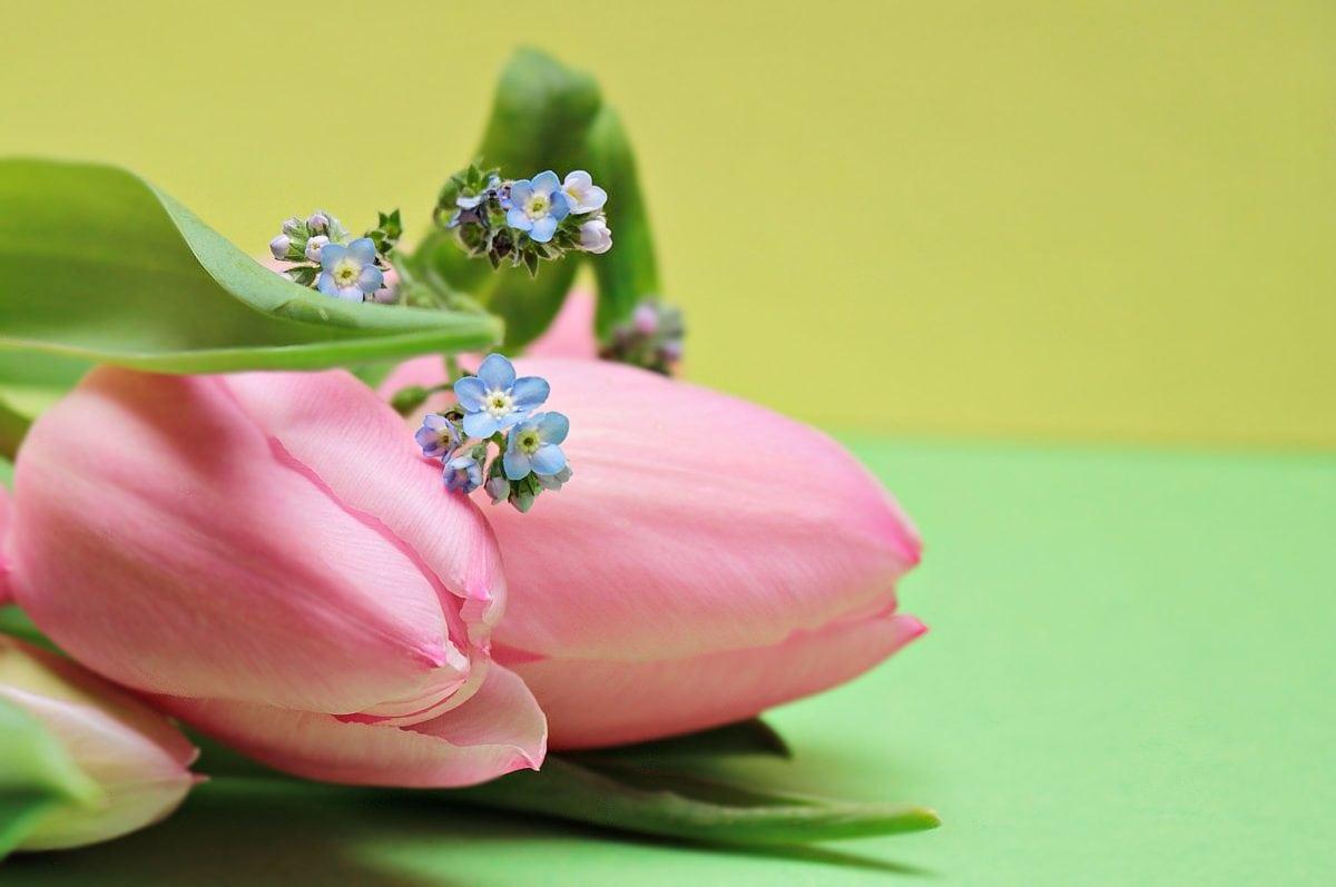 Natura, liść, Tulipan, dekoracja, Płatek, kwiat, różowy, Płatek