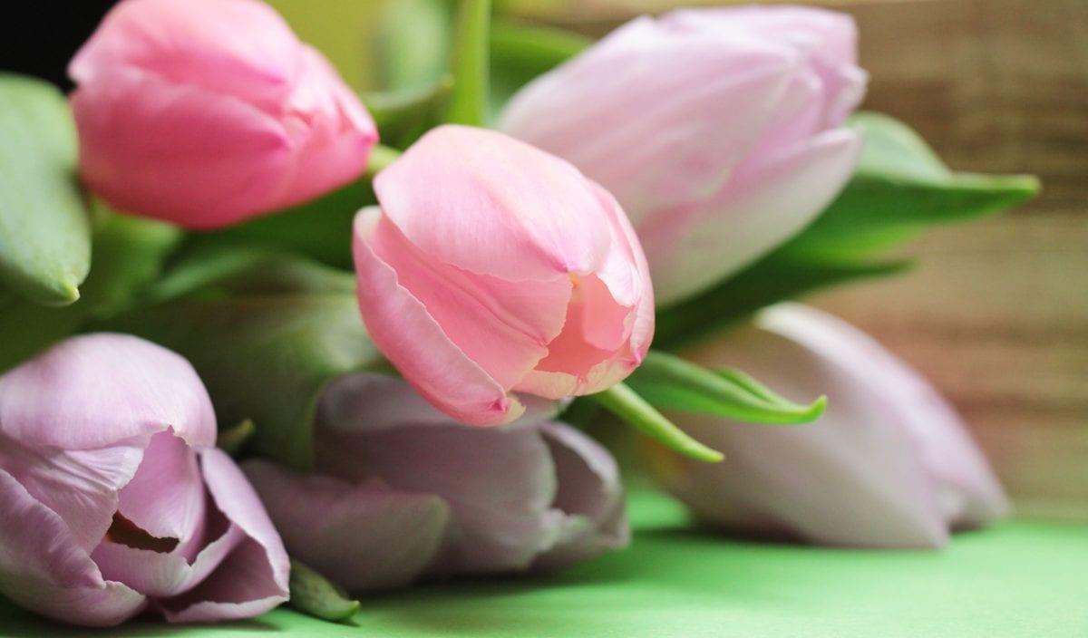 garden, flower, tulip, nature, petal, leaf, pink, blossom