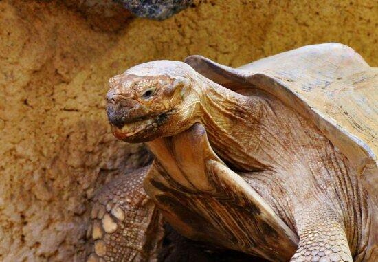 turtle, big, reptile, nature, wildlife, head, animal