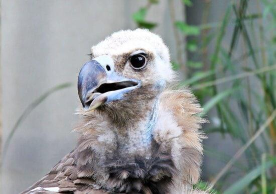 vulture, eagle, feather, wildlife, nature, animal, beak, bird, eye