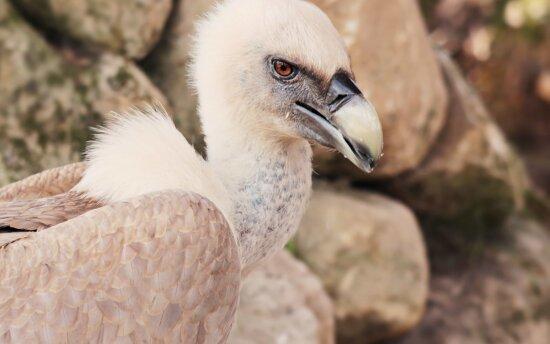 beak, vulture, eagle, nature, bird, feather, wild, wildlife, animal
