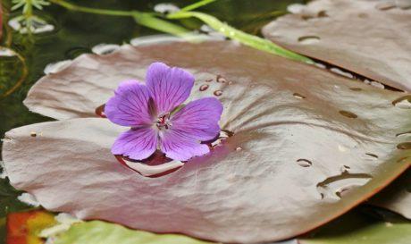 φύλλο, φύση, μοβ λουλούδι, φυτό, ροζ, βότανο, πέταλο