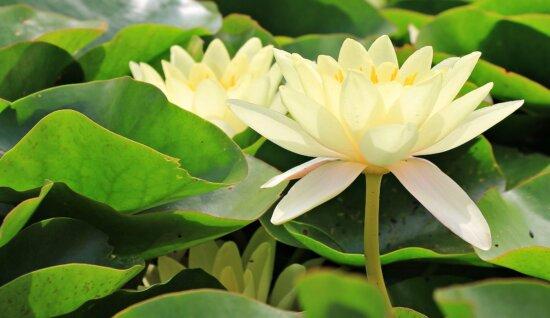 pétale, Lotus, feuille, nature, fleur, jardin, été