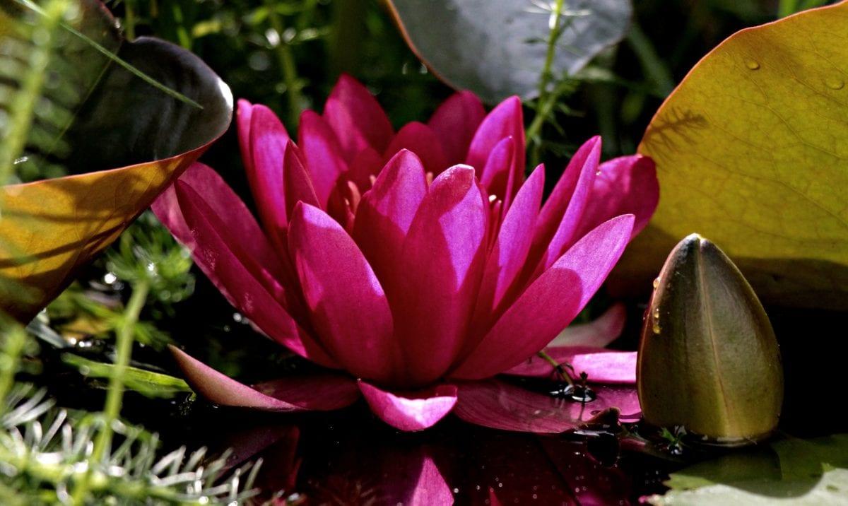 Leknín, zahrada, list, květina, příroda, okvětní lístek, rostlina, růžová, květ