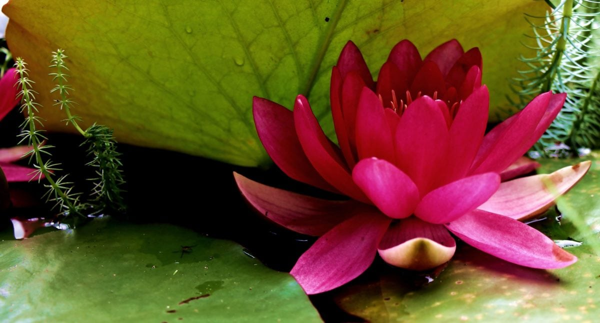 nature, flower, garden, leaf, aquatic, lotus, blossom