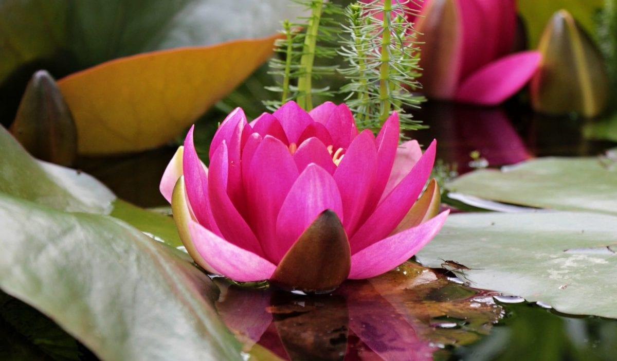 summer, garden, lotus, leaf, nature, flower, pink, petal