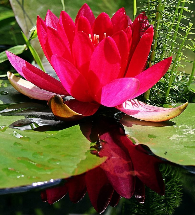 rød Lotus, blomst, natur, sommer, blad, eksotiske haven