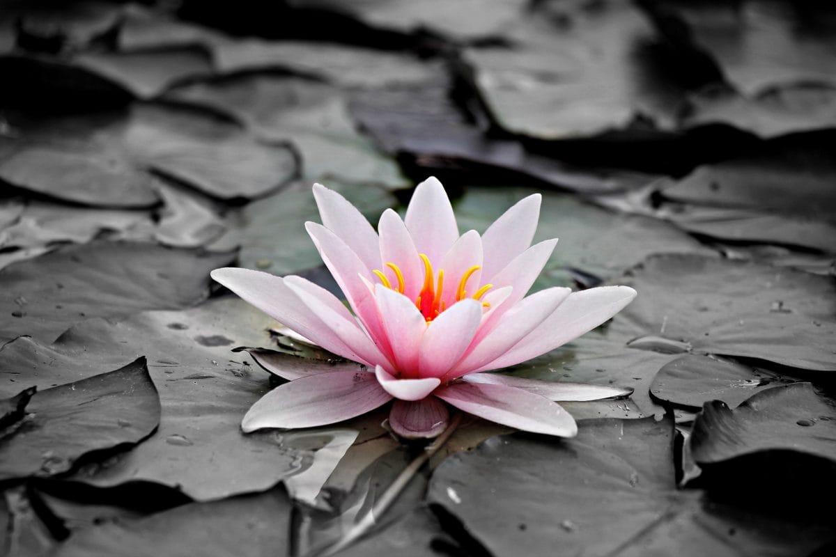 λουλούδι, φύση, λωτός, άνθος, ροζ, φυτό, υδρόβια