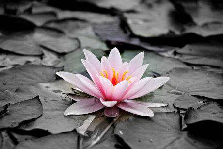 flower, nature, lotus, blossom, pink, plant, aquatic