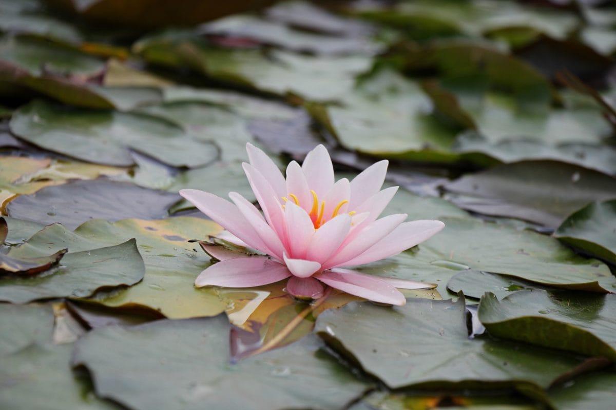 aquatic, flower, lotus, exotic, nature, leaf, blossom
