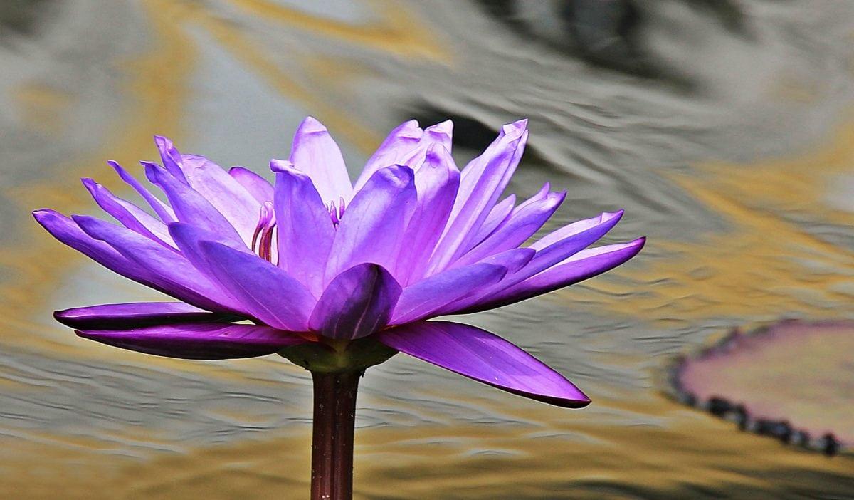 Lila Lotus, Wasser, exotisch, Wasser, Lotus, Wasserlilie, Natur, Blume