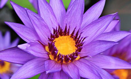 Градина, плодник, лято, Lotus цвете, природа, листа, венчелистче, билка, розово