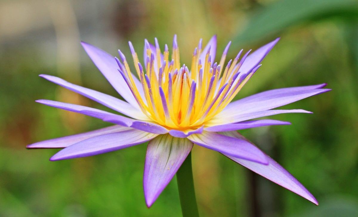 цвете, Градина, природа, лотос, листа, лято, растение, билка