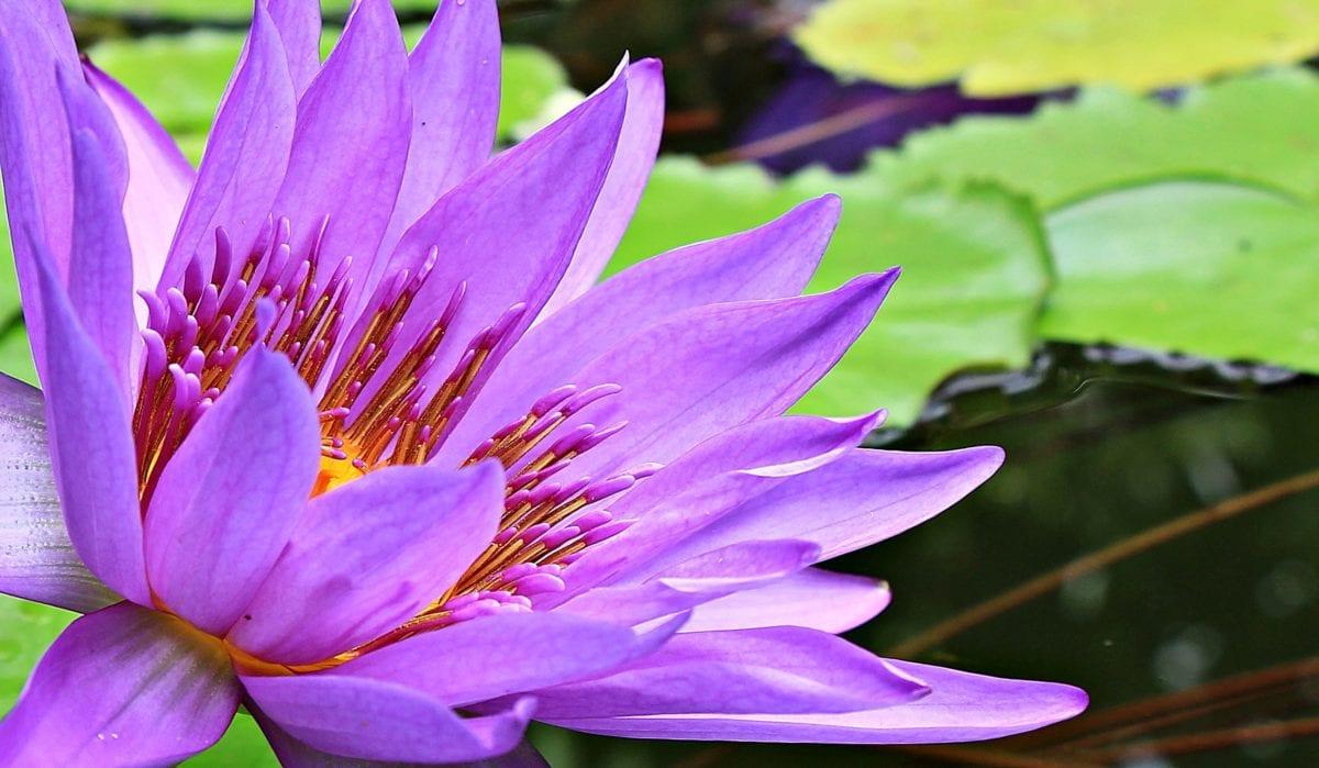 꽃, 수련, 연꽃, 정원, 잎, 자연, 수생