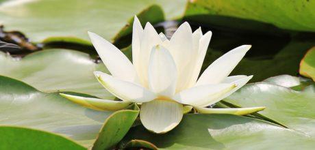 Leknín, Lotus, vodní, list, příroda, květiny, exotické