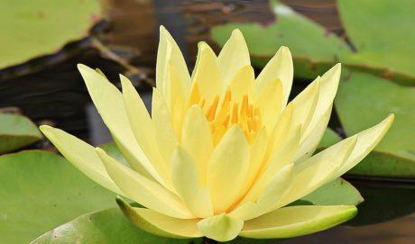 feuille, Lotus, nature, exotique, fleur, aquatique, plante