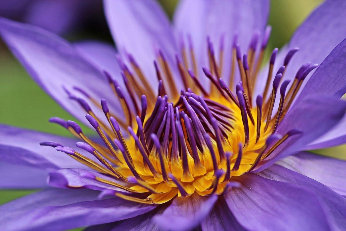 Κήπος, φύση, υδρόβια, καλοκαίρι, λουλούδι, λωτός
