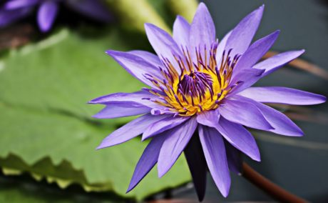Flower, waterlily, hage, blad, akvatiske, natur, Lotus