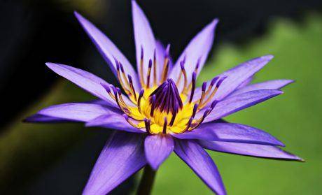natura, foglia, acquatico, petalo, fiore, loto, giardino