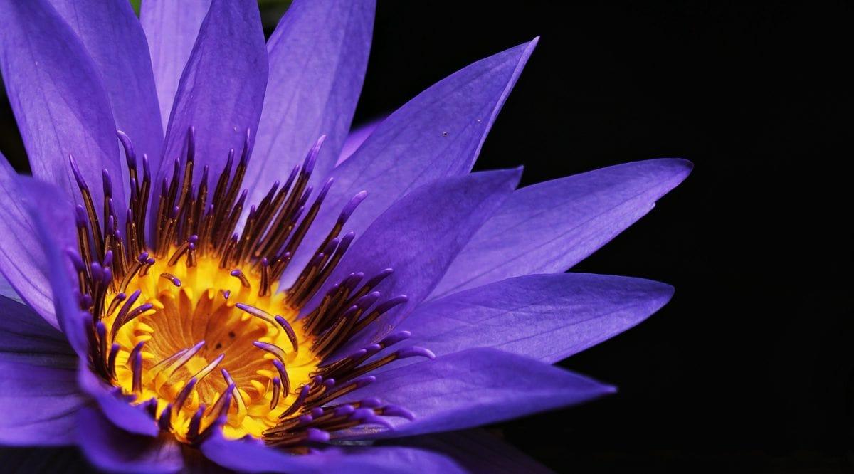 листа, цветя, природа, лотос, Градина, венчелистче, растение, цвят