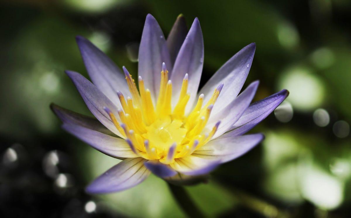 自然, 花びら, 庭, 夏, 蓮, 花
