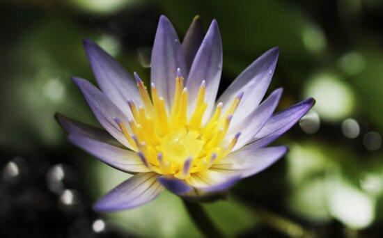 nature, pétale, jardin, été, Lotus, fleur
