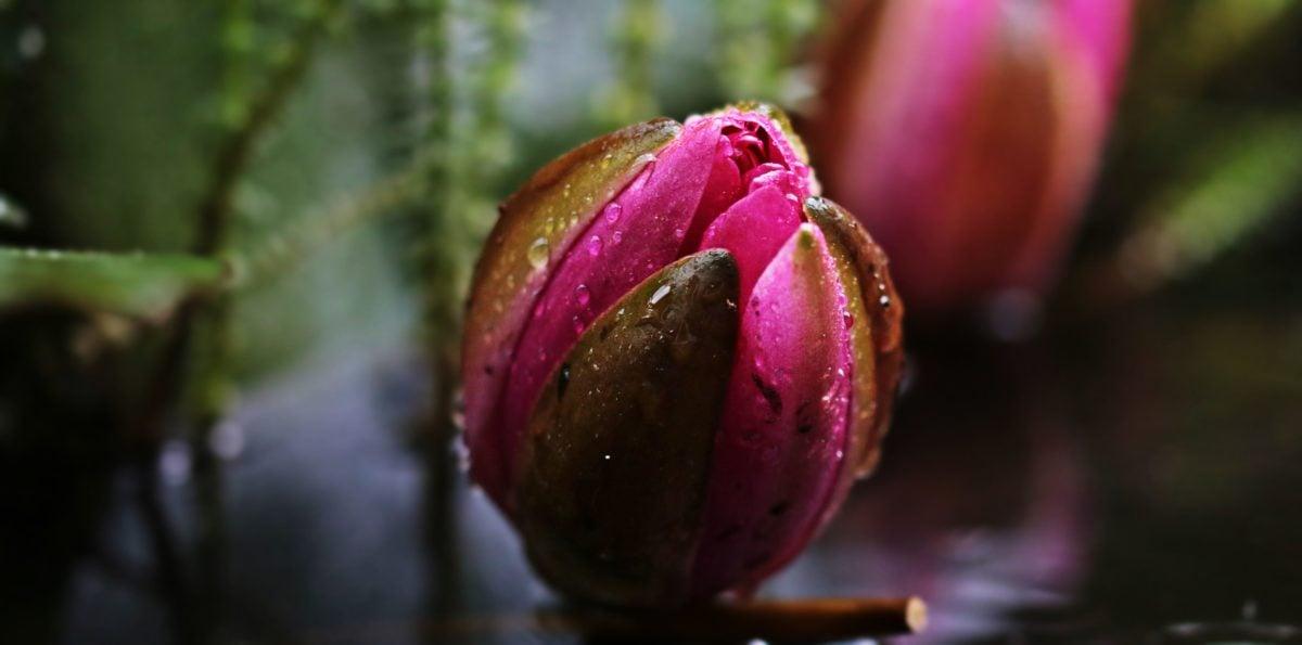лист, природа, цвете, растение, венчелистче, Градина, лале