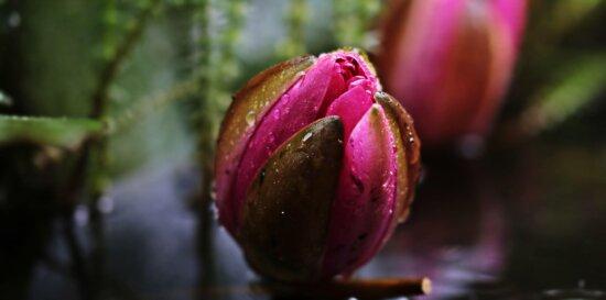 feuille, nature, fleur, plante, pétale, jardin, tulipe