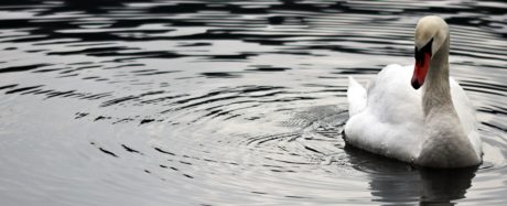 swan, river, reflection, bird, lake, water, nature