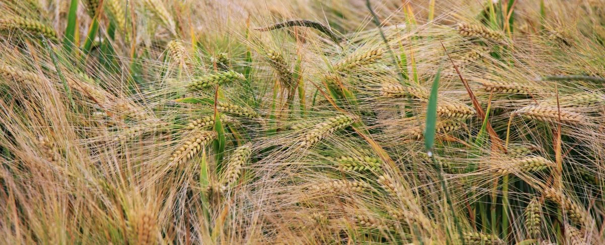 nature, seed, dry, agriculture, straw, cereal, field