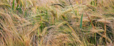 luonto, siemenet, kuiva, maatalous, olki, vilja, Pelto
