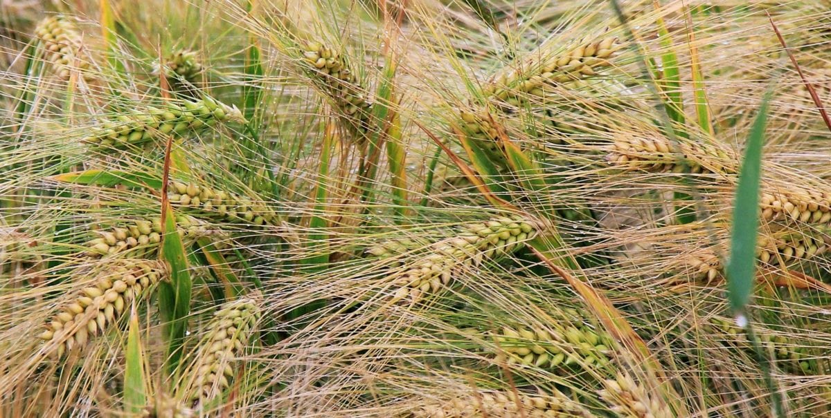 rye, nature, straw, field, cereal, agriculture