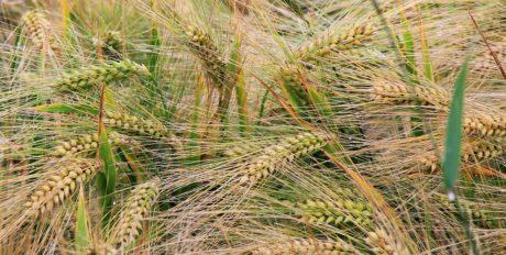 ръж, природа, слама, поле, зърнени култури, селско стопанство