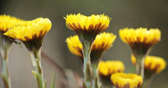 Blume, Sommer, Löwenzahn, Wiese, Blatt, Natur, Pflanze, Blüte, Garten