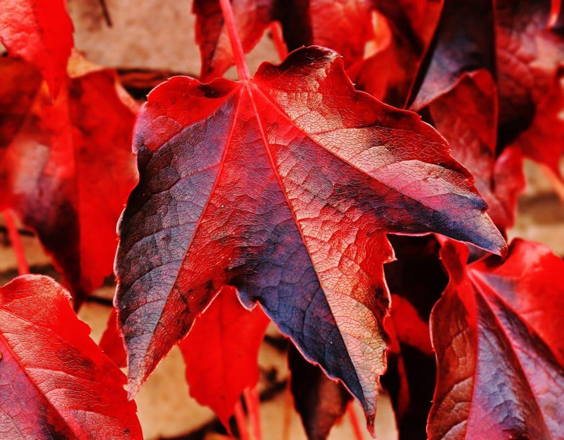 natur, löv, höst, växt, träd, lövverk