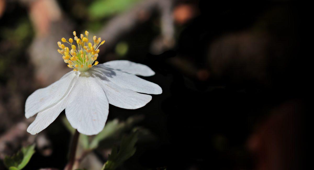 flower, plant, blossom, herb, petal, garden