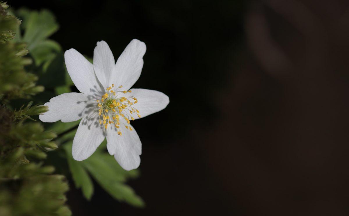nature, flower, leaf, plant, herb, petal, blossom, garden