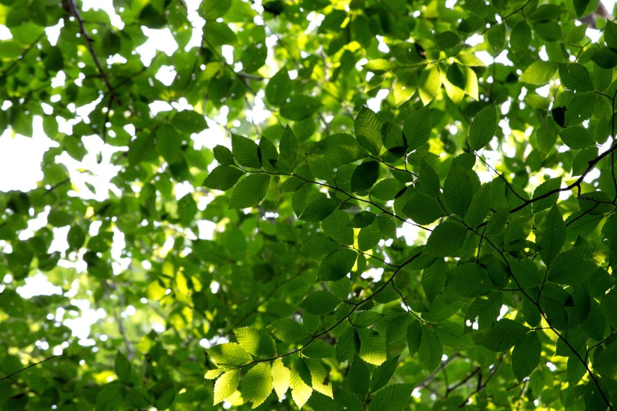 nature, summer, leaf, tree, environment, plant, forest, branch