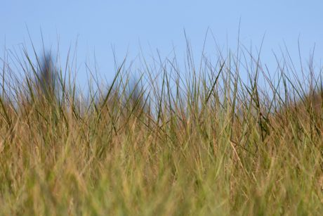 grass, nature, summer, landscape, field, reed, plant, sky