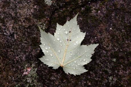 leaf, rain, moisture, plant, autumn, tree, dew