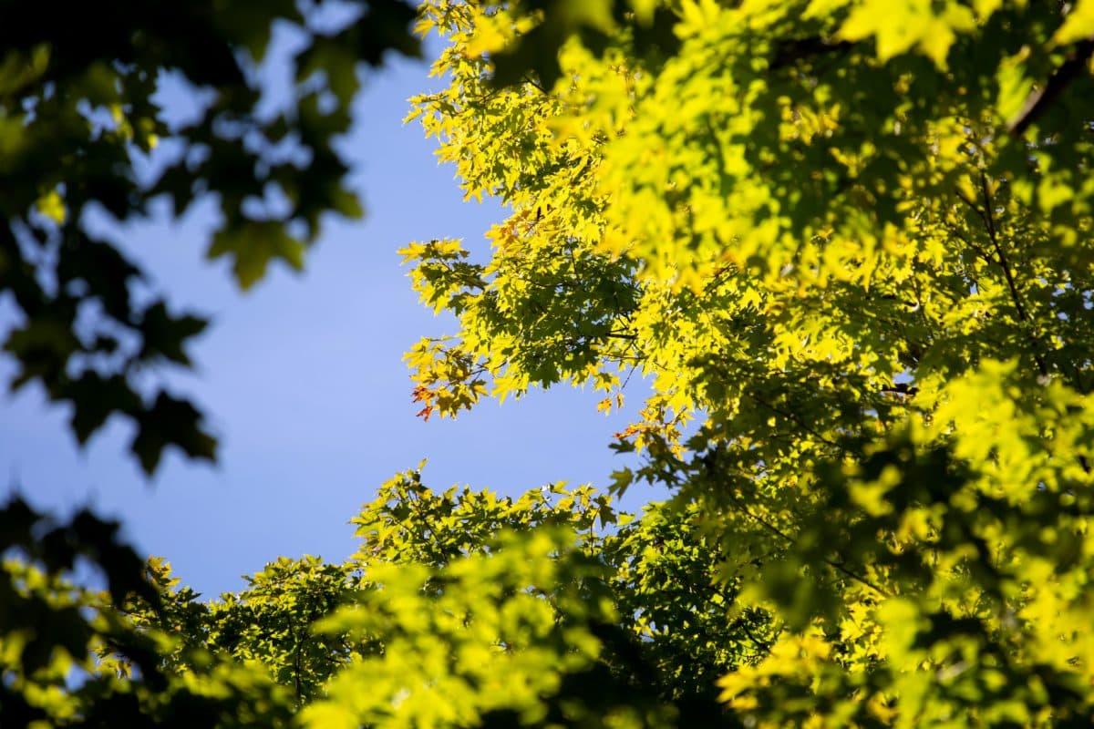 Sunce, drvo, priroda, list, stablo, plavo nebo, biljka, sunce, šuma