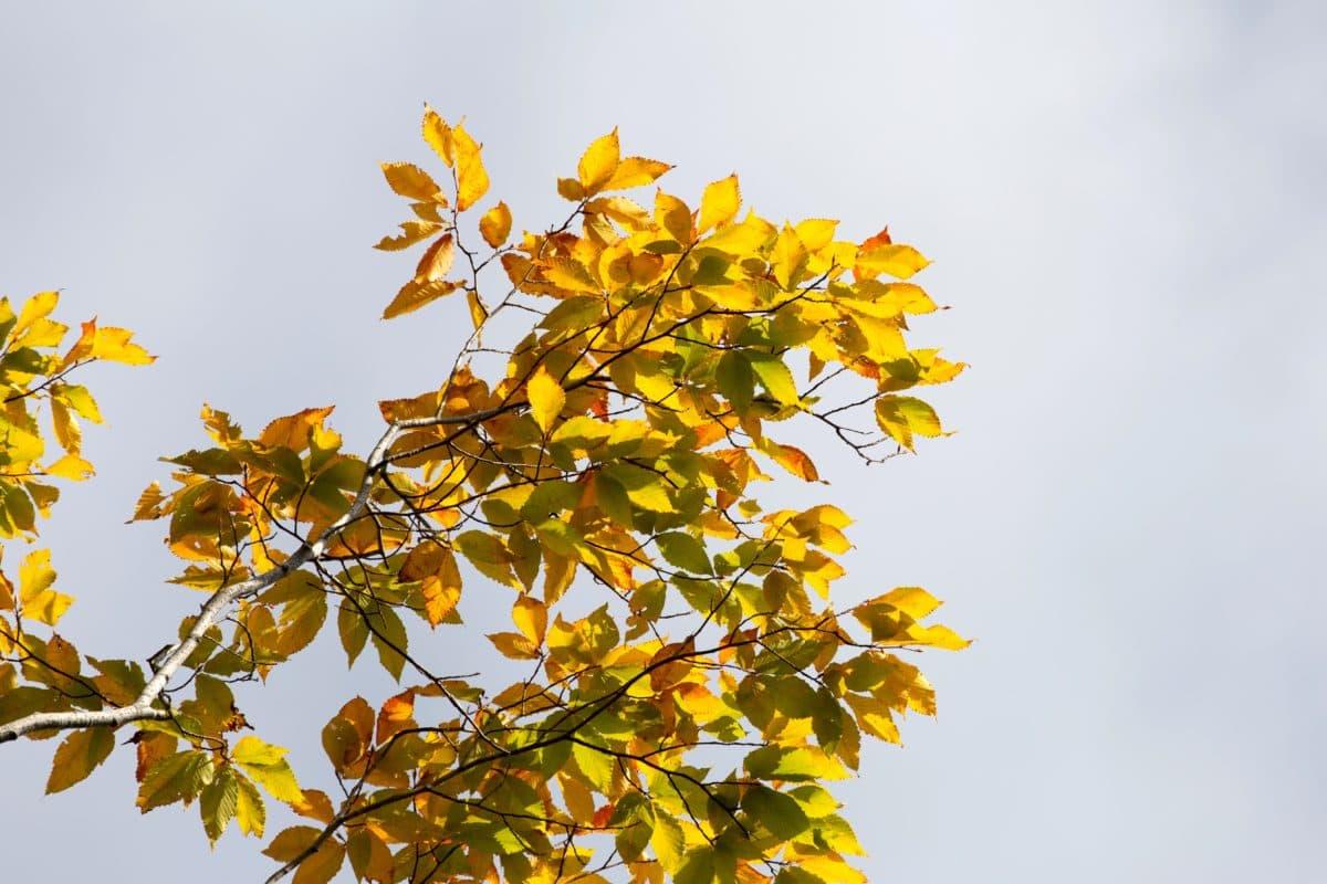 stablo, sunce, grana, list, priroda, biljka, jesen, šuma, lišće