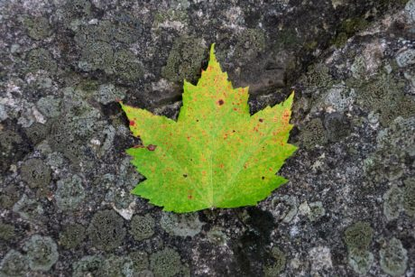 green leaf, nature, stone, outdoor, autumn