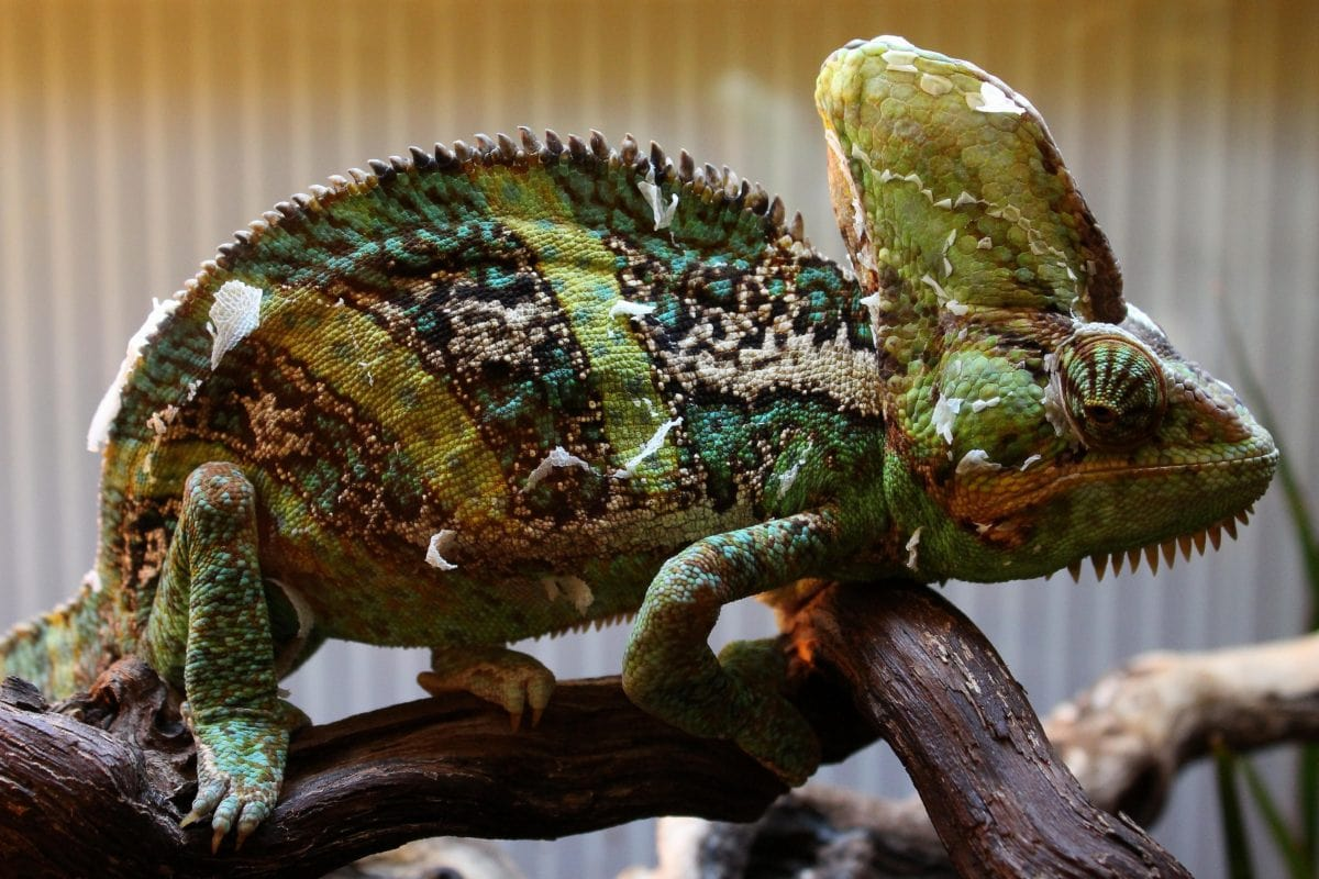 animal, wildlife, colorful chameleon, nature, lizard, reptile