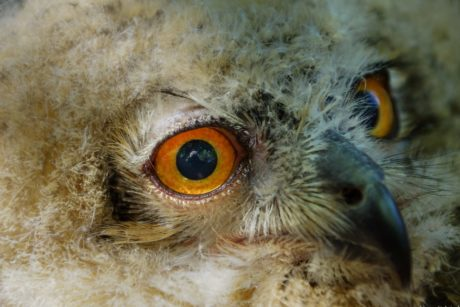 nature, raptor, wildlife, eye, portrait, owl, bird, animal, head