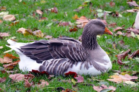 bird, nature, wildlife, grey goose, waterfowl, autumn, feather, beak, green grass