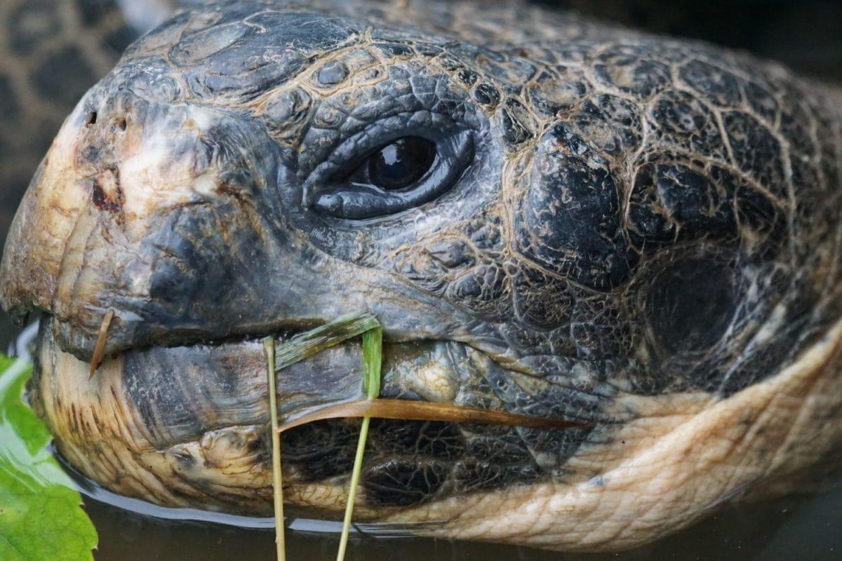 голяма костенурка, природа, влечуго, костенурка, дива природа, главата, очите, кожата