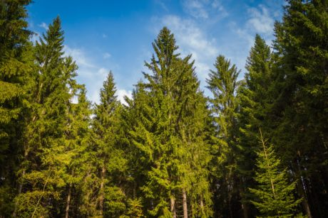 landscape, conifer, evergreen, wood, blue sky, tree, nature, poplar
