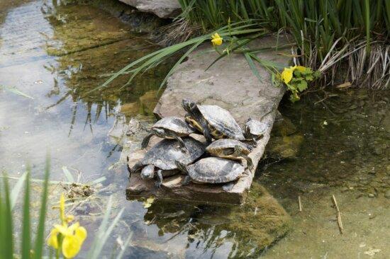 water, river, coast, nature, terrapin, turtle, reptile, outdoor
