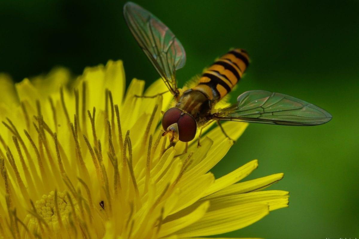 natuur, insect, geleedpotige, stamper, gele bloem, vleugel, ongewervelde, bug